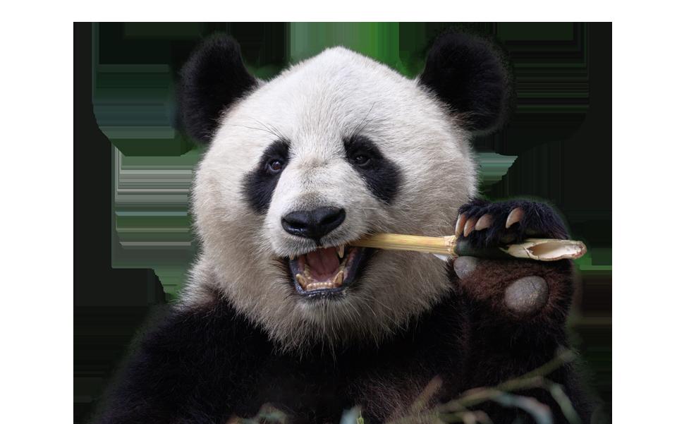 Panda munching bamboo