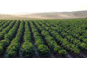 field of green leafy potato plants